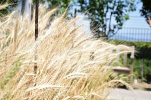 0617小麦②