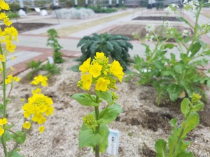 0319タケノコハクサイの花