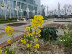 0319広島菜の花 (2)