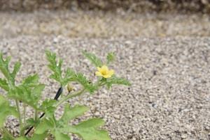 0517スイカの花