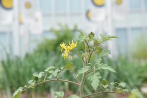 0517トマトの花