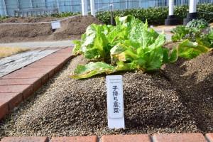 0128子持ち高菜 (2)